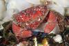 Crab: Cancer oregonensis, Pygmy Rock Crab<br /> ID thanks to Gregory Jensen