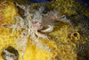 Crab: Oregonia gracilis, Graceful Decorator Crab<br /> ID thanks to Gregory Jensen
