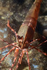 Shrimp: Pandalus platyceros, Pacific Prawn<br /> ID thanks to Gregory Jensen