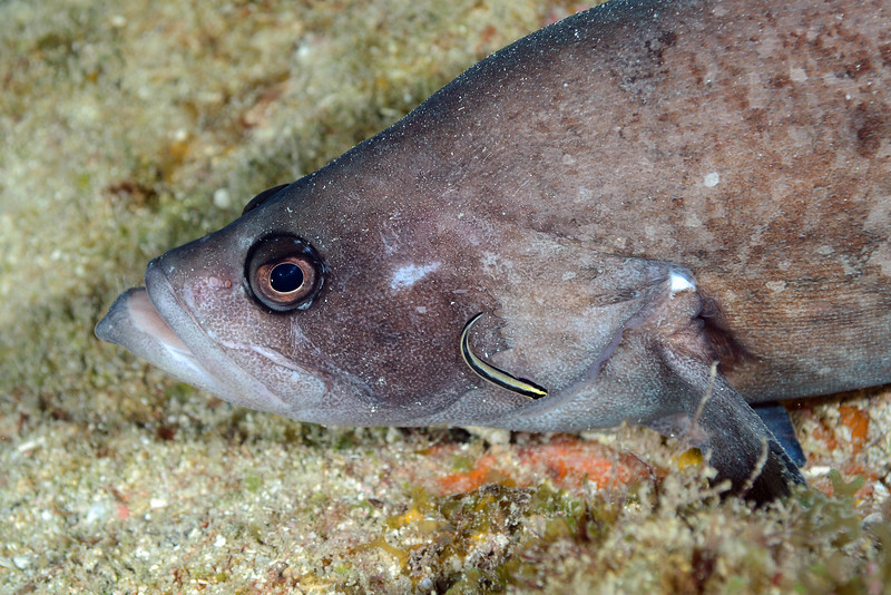 Rypticus saponaceus, Greater Soapfish being cleaned by goby