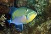 Balistes vetula, Queen Triggerfish
