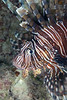 180214_Lionfish