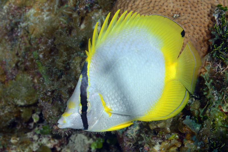 Chaetodon ocellatus, Spotfin Butterflyfish