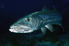 Sphyraena barracuda, Great Barracuda