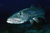 Sphyraena barracuda, Great Barracuda
