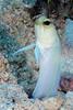 180216_Jawfish1