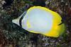 180214_Chaetodon ocellatus