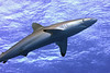 180213_Shark