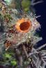 180212_Tunicate