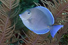Acanthurus coeruleus, Blue Tang