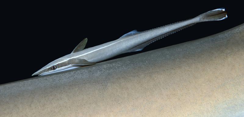 Echeneis neucratoides, Whitefin Sharksucker