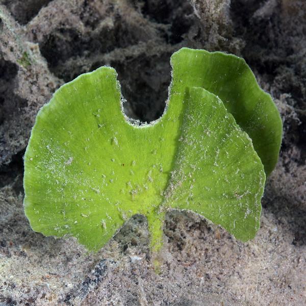 Eudotea Sp., Mermaid's Fan - calcifying algae<br /> Jardines de la Reina, Cuba<br /> ID thanks to Cypress Hansen