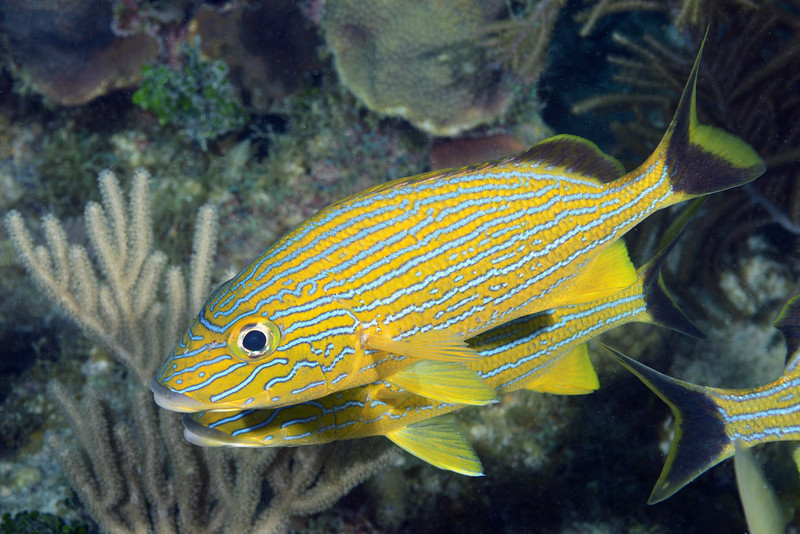 Haemulon sciurus, Bluestriped Grunt