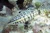 180215_Serranus tigrinus