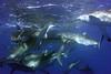 180212_Sharks