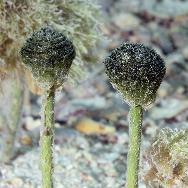 Penicillus capitatus, Neptune's shaving brush<br /> Jardines de la Reina, Cuba<br /> ID thanks to Cypress Hansen