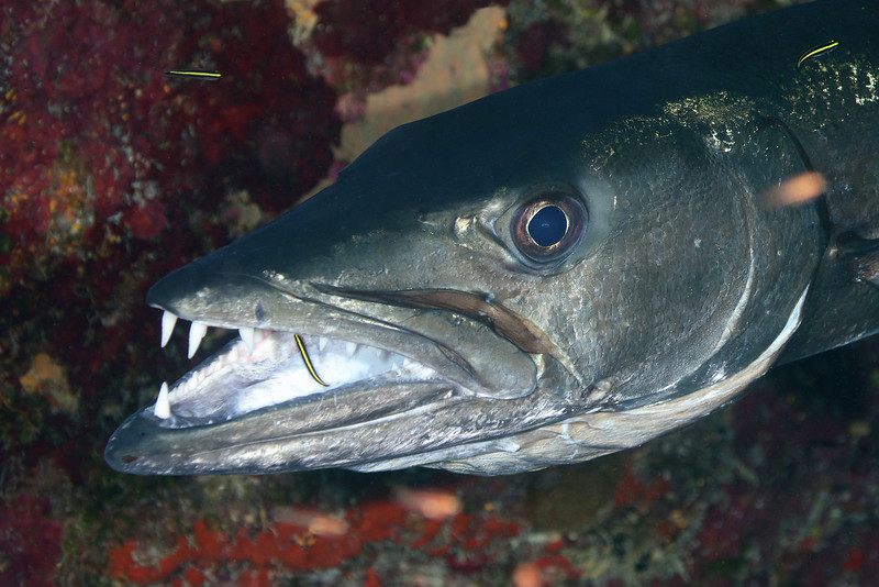 Sphyraena barracuda, Great Barracuda, at cleaning station