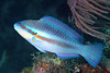 Scarus iserti, Striped Parrotfish, Terminal phase