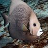 Pomacanthus arcuatus, Gray Angelfish
