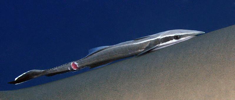 Echeneis neucratoides, Whitefin Sharksucker, showing injury<br /> Cuba