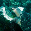 Eretmochelys imbriocota, Hawksbill Turtle feeding on sponge