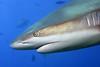 180211_Shark3
