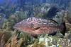 Epinephelus itajara, Goliath Grouper (?)