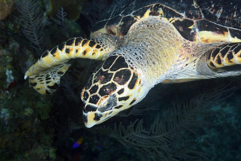 Eretmochelys imbriocota, Hawksbill Turtle