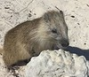 "Hutia, rodents of Cuba<br /> <a href=""https://www.google.com/search?q=hutia&ie=utf-8&oe=utf-8&client=firefox-b-1"">https://www.google.com/search?q=hutia&ie=utf-8&oe=utf-8&client=firefox-b-1</a>"