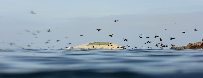 Cormorants<br /> Big Fisherman's Cove, Catalina Island, USA