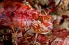 Alloclinus holderi, Island Kelpfish
