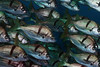 "Anistremus davidsoni, Sargo<br /> ""Craggy"" Reef, Palos Verdes, California"