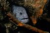 Anarrhichthys ocellatus, Wolf Eel<br /> African Queen wreck, San Pedro
