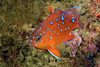 Hypsypops rubicundus, Garibaldi, juvenile<br /> The Arch, Palos Verdes, California