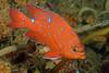 Hypsypops rubicundus, Garibaldi<br /> Pt. Vicente, Palos Verdes, California