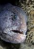 Anarrhichthys ocellatus, Wolf Eel<br /> La Jolla Shores, California
