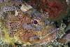 Scorpaena guttata, Scorpionfish<br /> Big Pipe, El Segundo, California