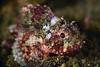 Scorpaena guttata, Scorpionfish, juvenile