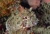 Scorpaena guttata, Scorpionfish