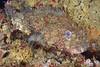 Scorpaena guttata, California scorpionfish