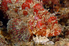 Scorpaena guttata, Scorpionfish<br /> Catalina