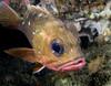 Sebastes umbrosus, Honeycomb Rockfish
