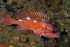 Sebastes rosaceus, Rosy Rockfish
