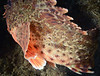 Scorpaena guttata, Scorpionfish, turning away just as I clicked the shutter!<br /> Halfway Reef, Palos Verdes, California