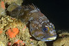 170104_Rockfish