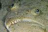 Flatfish: Halibut, approx. 3 feet long<br /> La Jolla Shores, California