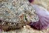 Flatfish: Citharichthys stigmaeus, Speckled Sanddab.<br /> ID thanks to Larry Allen.