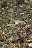 Flatfish: Citharhichthys stigmaeus, Speckled Sanddab<br /> Golf Ball Reef, Palos Verdes, California<br /> ID thanks to Andy Lamb