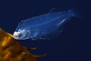 Flatfish: Juvenile, ID needed<br /> Drifting kelp paddy, 3 miles off Redondo Beach, California.