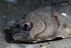 Flatfish: Citharichthys sordidus, Pacific Sandab.<br /> ID thanks to Larry Allen.